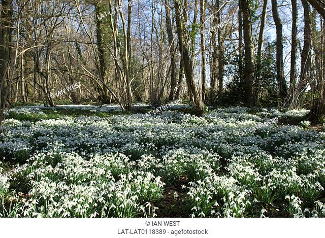 Snowdrop Galanthus nivalis massed in old hazel coppice near Petworth. Snowdrops bloom in late winter,often on woodland floor and spread and colonize shaded...