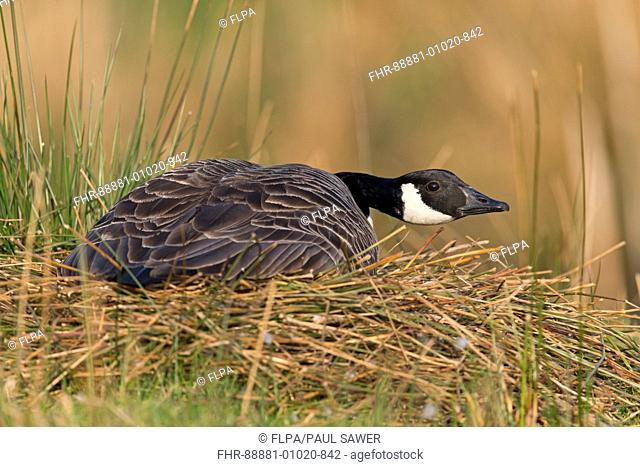 Canada Goose (Branta canadensis) adult, sitting on nest incubating eggs, Devon, England, UK, April