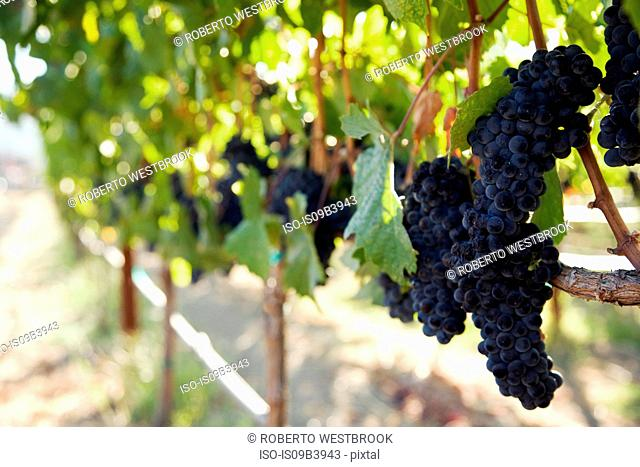 Grapes growing in vineyard, Napa Valley, California, USA