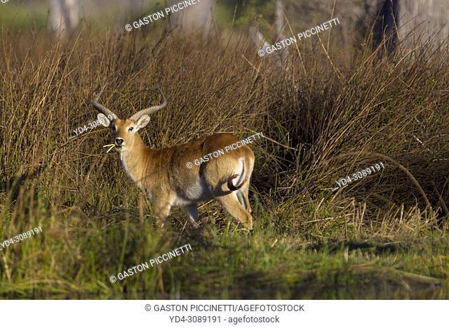 Red Lechwe (Kobus leche leche) -Male, feeding in a freshwater marsh. Okavango Delta, Moremi Game Reserve, Botswana