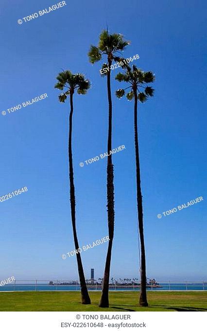 California palm trees on blue sky near long beach