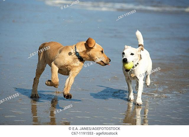 Yellow Labrador Puppy and Jack Russell Terrier playing on Beach
