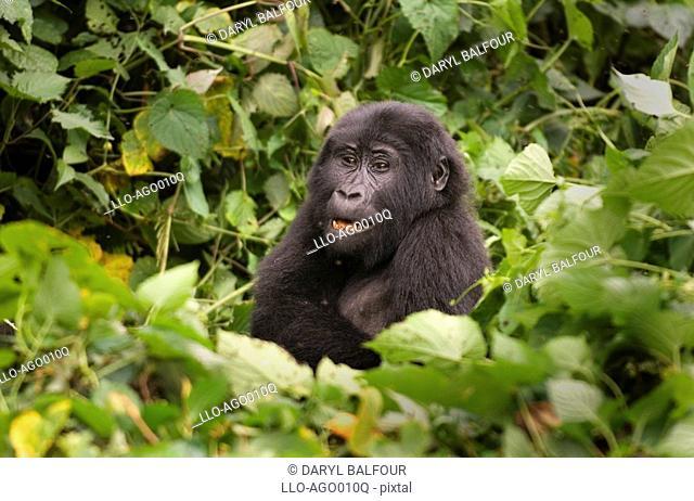 Portrait of Mountain Gorilla Gorilla beringei beringei Sitting in Forest  Bwindi Forest, Uganda