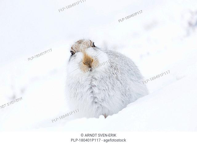 Mountain hare / Alpine hare / snow hare (Lepus timidus) in white winter pelage resting in the snow with flattened ears
