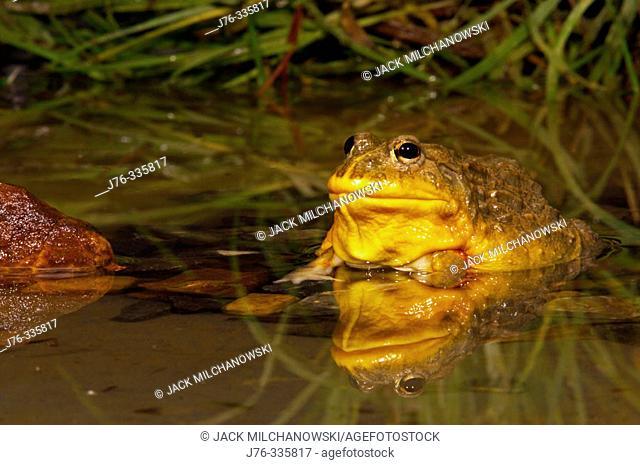 African Bullfrog (Pyxicephalus adspersus), captive