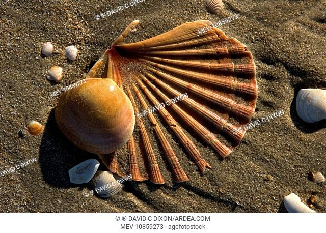 Shells on beach - including Scallop Shell. Spain's Atlantic coast-line. Punta Umbria, Province of Huelva. Spain. Thousands of mollusc shells are cast-up by...