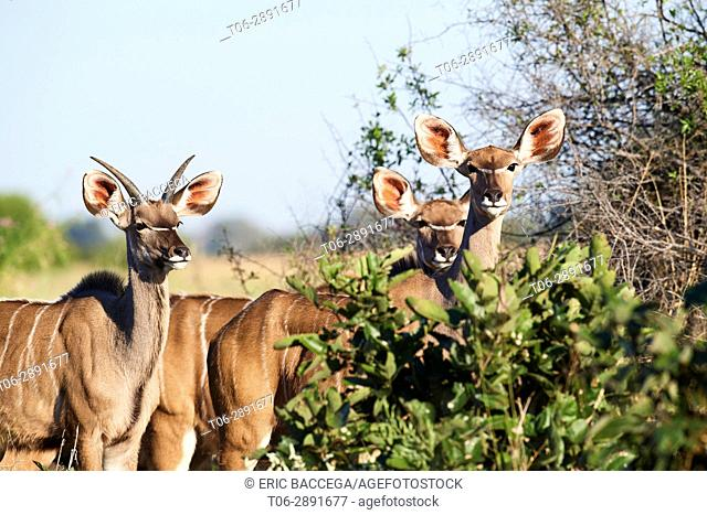 Greater kudu (Tragelaphus strepsiceros) young male and female. Moremi National Park, Okavango delta, Botswana, Southern Africa