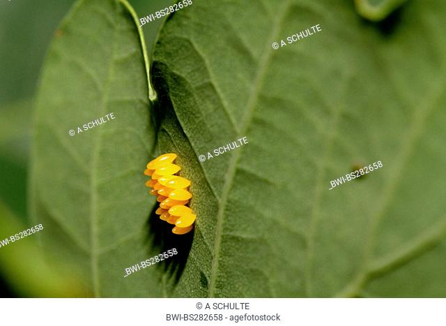 multicoloured Asian beetle Harmonia axyridis, Eggs of the at the underside of a leaf, Germany, Bavaria