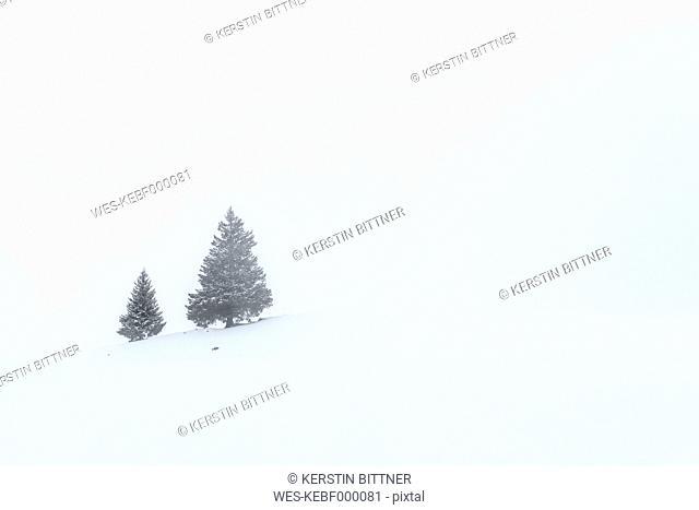 Switzerland, Canton of St. Gallen, Alp near Toggenburg in winter, Conifers