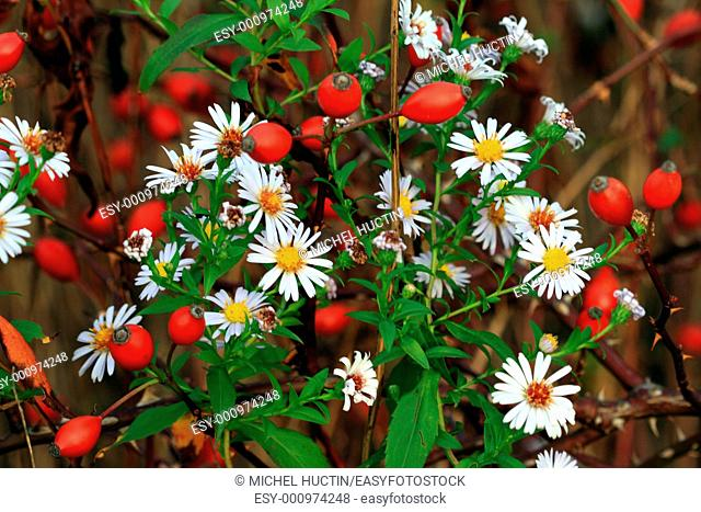 Daisies and rosehips