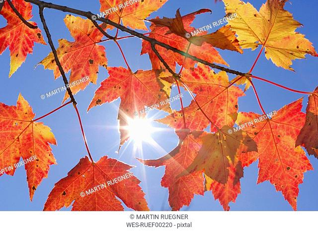 USA, New England, Maple leaves against blue sky