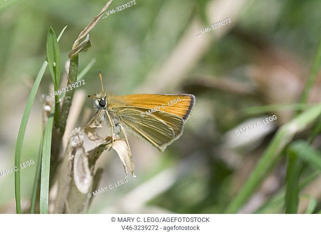 Essex Skipper, Thymelicus lineola. Small orange skipper that is distinguished by black undertips of the antennae. Wingspread: 26 - 30mm