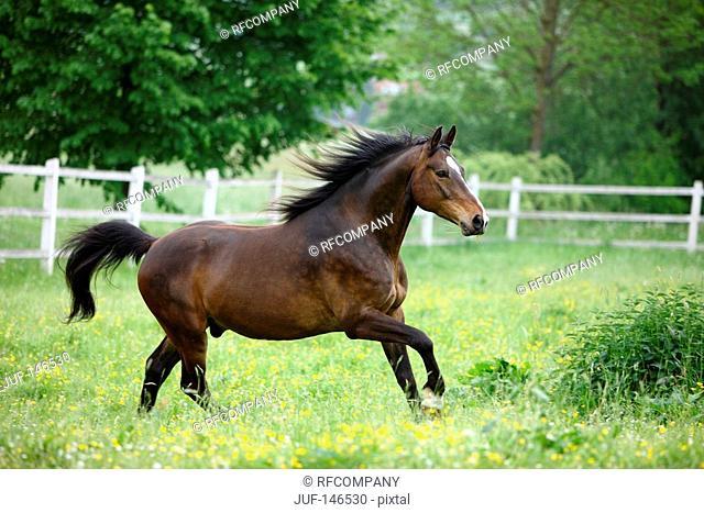 bavarian warmblood - running on meadow