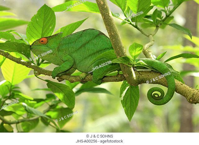 Parson's chameleon, Calumma parsonii, Madagascar, adult on tree