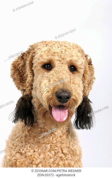 Standard Poodle, apricot, sheared / Grosspudel, aprikot, geschoren / Königspudel, Saeugetiere, mammals, animals, Haushund, domestic dog, Haustier, Heimtier, pet
