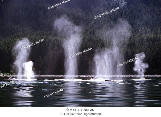 Humpback Whale Megaptera novaeangliae pod surfacing blow detail off Point Adolphus, Southeast Alaska, USA.