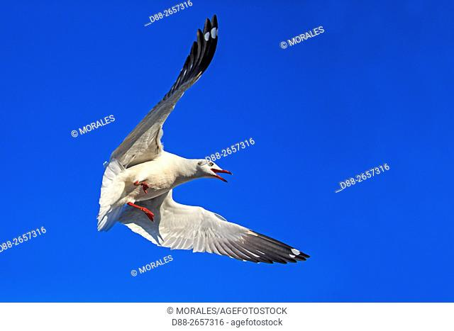 Myanmar, Shan State, Inle lake, . Brown-headed gull (Chroicocephalus brunnicephalus)