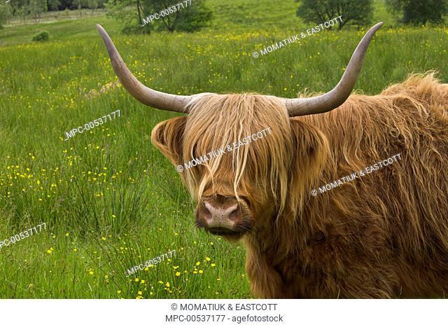 Highland Cattle (Bos taurus) in green pasture, Isle of Skye, Scotland