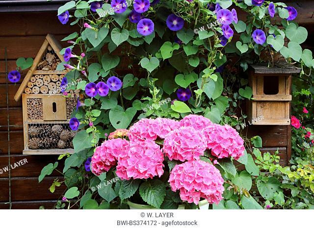 Garden hydrangea, Lace cap hydrangea (Hydrangea macrophylla), summerhouse with bee hotel, nest box, hydrangea and morning glory, Germany