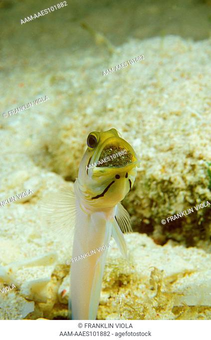 Male Yellowhead Jawfish aerating & incubating Eggs (Opistognathus aurifrons)
