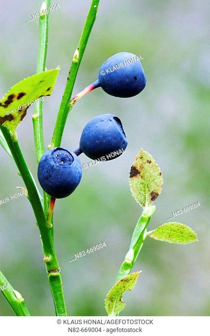 Bilberry or Blueberry (Vaccinium myrtillus) in woodland. Bavaria, Germany
