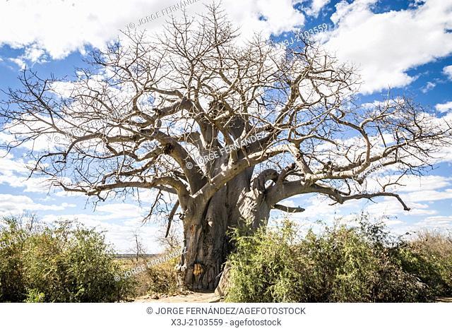 Big Baobab tree in Muhembo Game reserve, Namibia, Africa