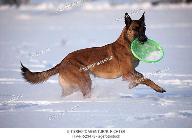 Malinois in snow