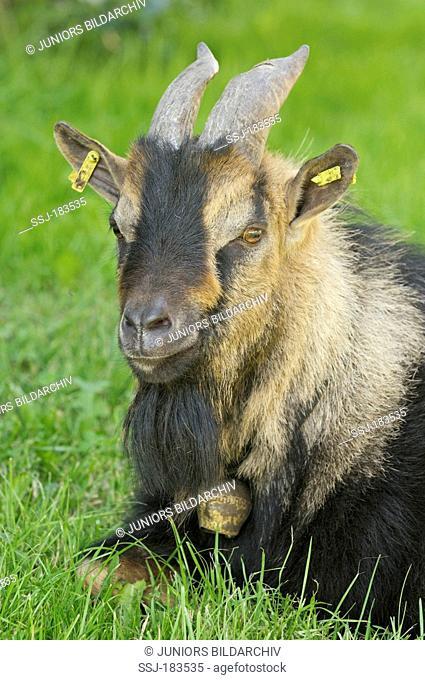 Pygmy Goat (Capra aegagrus hircus). Portrait of adult male (billy). Germany