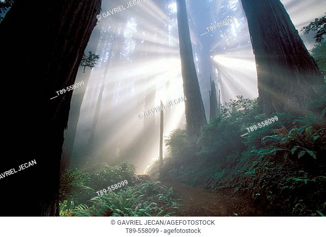 USA , California, Red Woods National Park, Mist in the forest
