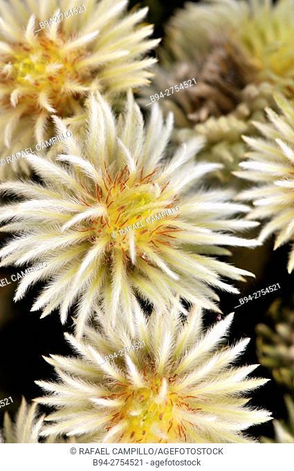 Flowers of Dahlias for sale. Fam. Asteraceae. La Rambla. Barcelona, Catalonia, Spain