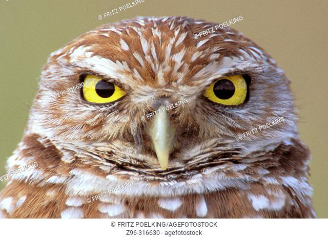 Burrowing Owl (Speotyto cunicularia). Florida, USA