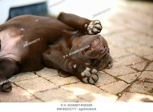 Labrador Retriever (Canis lupus f. familiaris), brown 6 weeks old puppy lying on a terrace sleeping, Germany