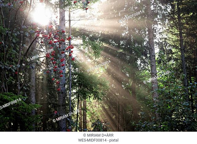 Germany, Baden-Wurttemberg, Sun beams shining through trees in the Black Forest