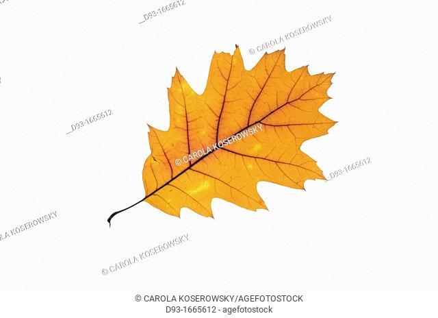 Leaf of Northern Red Oak