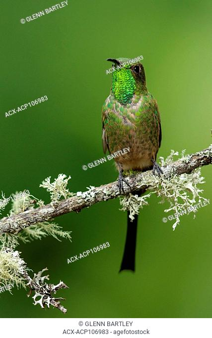 Black-tailed Trainbearer Hummingbird (Lesbia victoriae) perched on a branch in the mountains of Colombia, South America