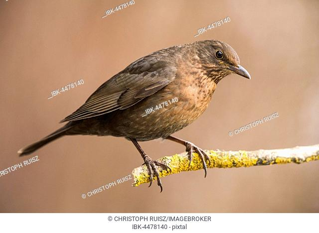 Blackbird (Turdus merula) sitting on branch, female, Lower Austria, Austria