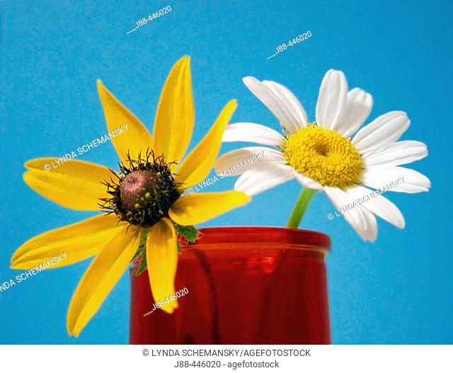 Ox-Eyed Daisy (Chrysanthemum leucanthemum) and Black Eyed Susan (Rudbeckia hirta)