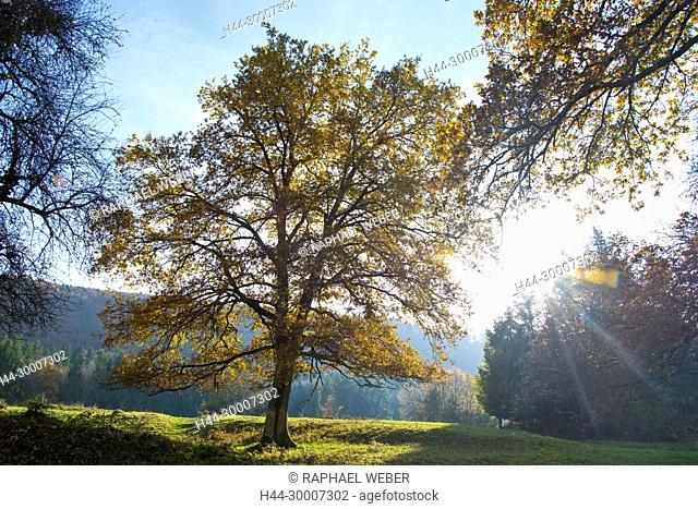 autumn tree in bright sunlight