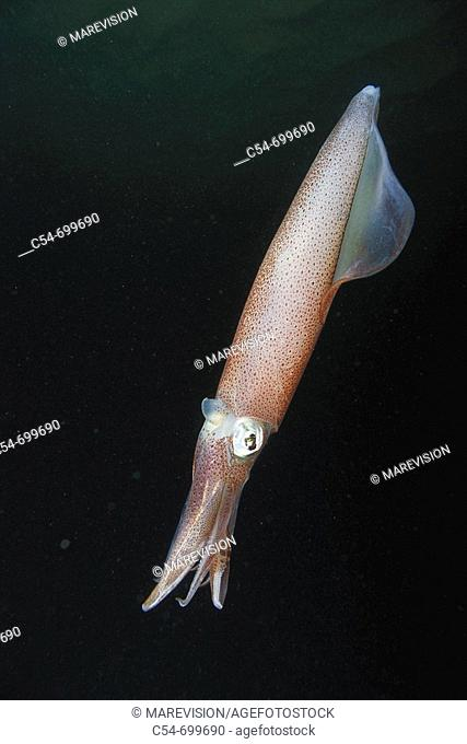 Eastern Atlantic. Galicia. Spain. Squid. Loligo vulgaris