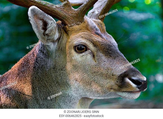 Male deer close up