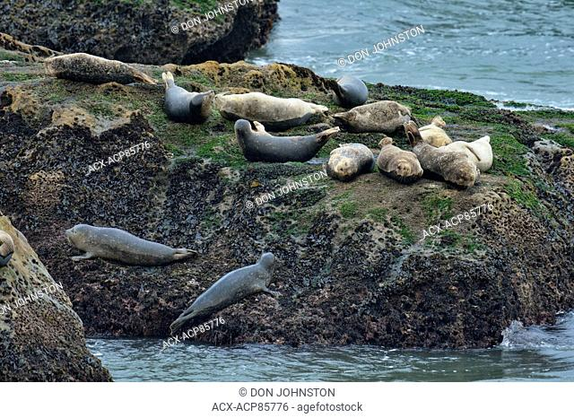 Harbour seal (Phoca vitulina), near Pismo Beach, California, USA