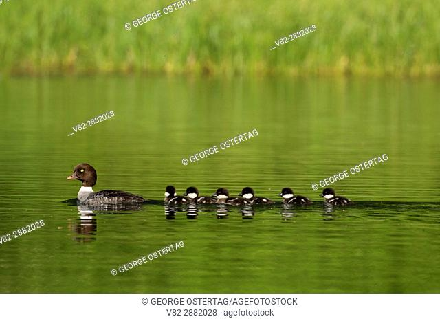 Common goldeneye with chicks at Clear Lake, Willamette National Forest, Oregon