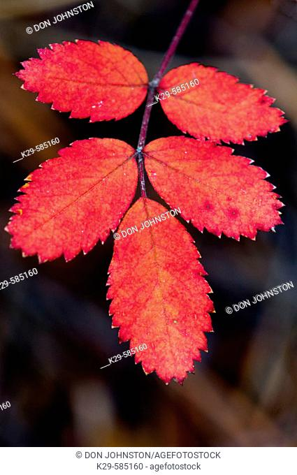 Wild rose leaves (Rosa acicularis) with autumn red pigment. Jasper National Park. Alberta