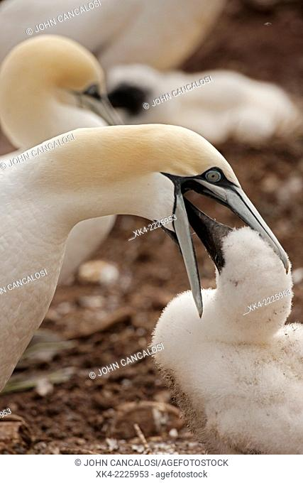 Northern gannets, parent feeding young
