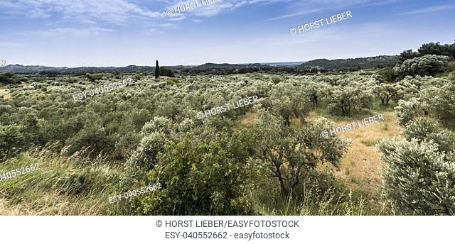 Olive grove in the valley near the fortress Les Baux de Provence. Bouches du Rhone, Provence, France, Europe