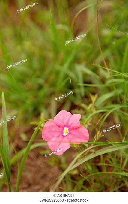 pink flower in a meadow in the rainy season, Rwanda, Eastern Province , Akagera National Park
