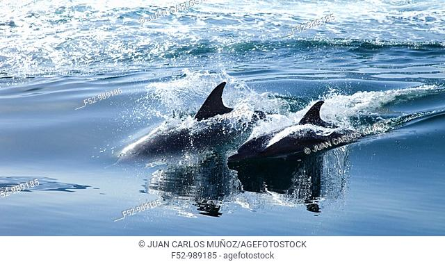 Bottlenose Dolphin .Tursiops truncatus. Oman. Persian Gulf. Arabia. Middle East