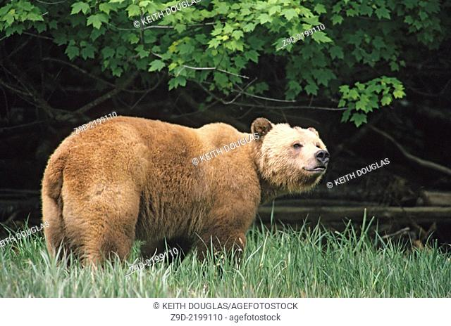Grizzly bear sniffing the air, Glendale river estuary, Knight Inlet, British Columbia