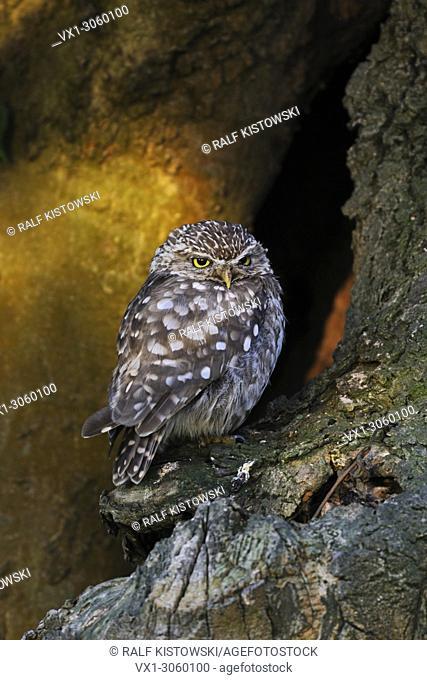 Little Owl / Minervas Owl ( Athene noctua ) perched in an old tree in wonderful morning light, spotlight, wildlife, Europe. .