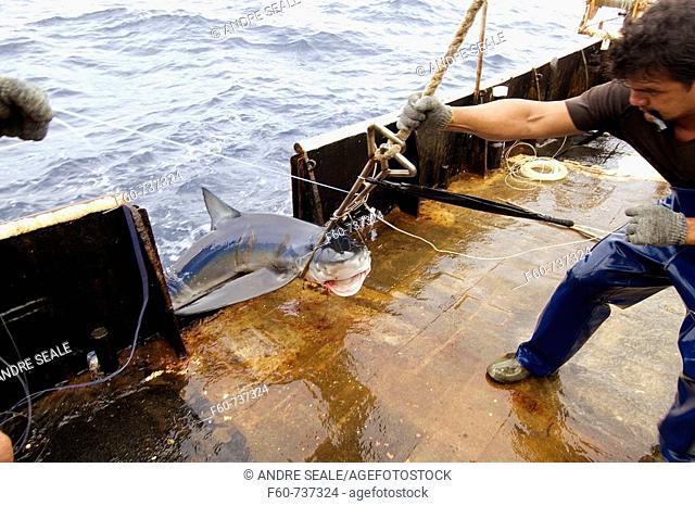 Capture of blue shark, Prionace glauca, offshore commercial longline shark fishing, Brazil, Atlantic Ocean